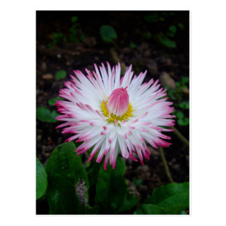 000011 - Rosa Gänseblümchen Postkarte