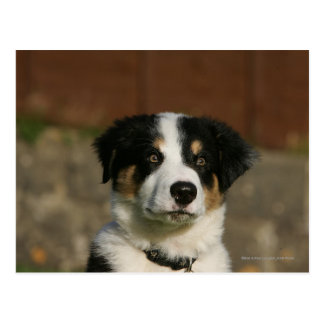 12 Wochen-alter Border-Collie-WelpeHeadshot Postkarte