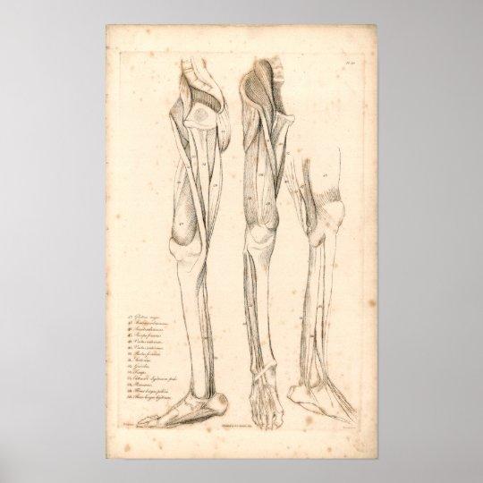 1833 muskeln bein vintager anatomie druck poster zazzle. Black Bedroom Furniture Sets. Home Design Ideas