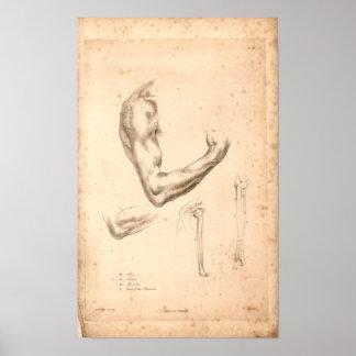 1833 Vintager Arm-Anatomie-Druck Poster
