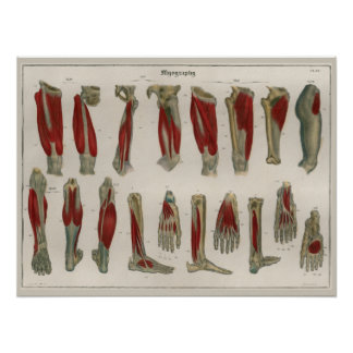1837 Vintages Bein Muscles Anatomie-Kunst-Plakat Poster