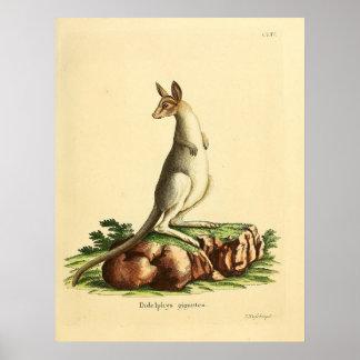 1840'sillustration eines östlichen grauen Kängurus Poster