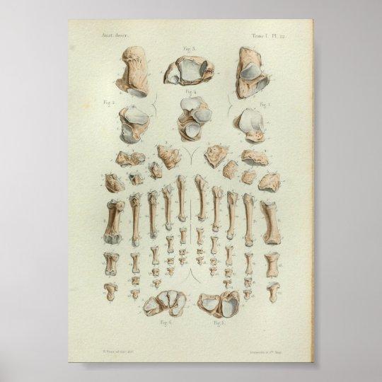 1844 Vintage Anatomie-Druck-Fuß-Knochen Poster | Zazzle