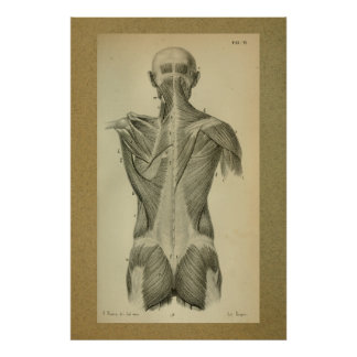 1850 Vintage Anatomie-Druck-Rückenmuskel Poster