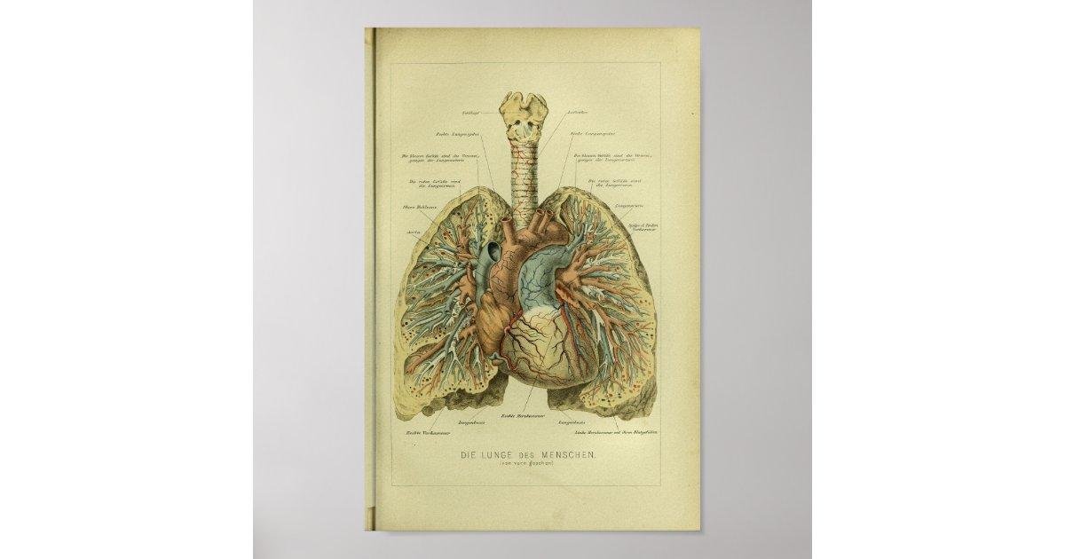 1886 Vintager menschlicher Lunge-Anatomie-Druck Poster | Zazzle