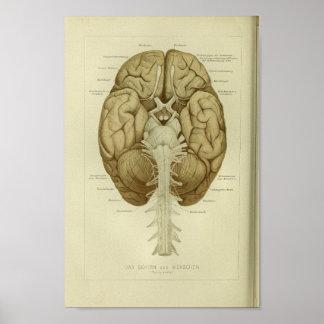 1886 Vintager menschliches Gehirn-Anatomie-Druck Poster