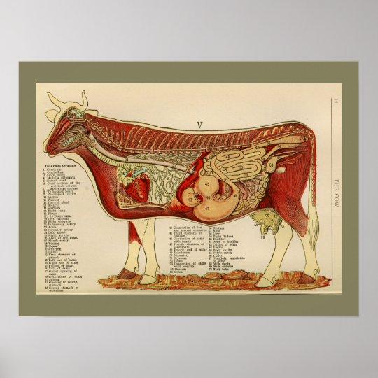 1917 Vintage Kuh-internes Anatomie-Diagramm Poster | Zazzle
