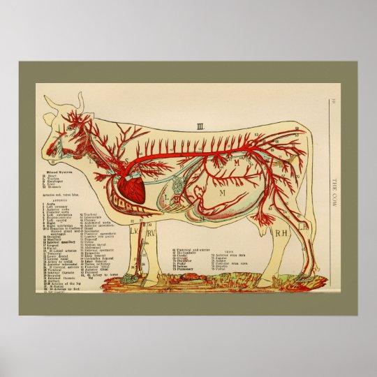 1917 Vintages Kuh-Arterien-Anatomie-Diagramm Poster | Zazzle