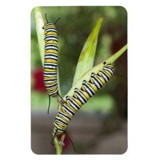 2 Monarch-Raupen auf Milkweed-Fotomagneten Magnet