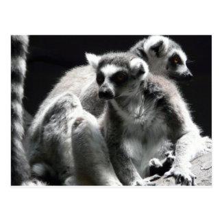 2 Ringtail Lemur Postkarte