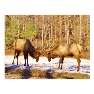 2~ zwei Stier Elche im Schnee Postkarte