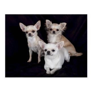 3 chihuahuas.png postkarte