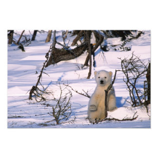 3 Monat alte polare bearcoy) stehend an scheuern s Foto Druck