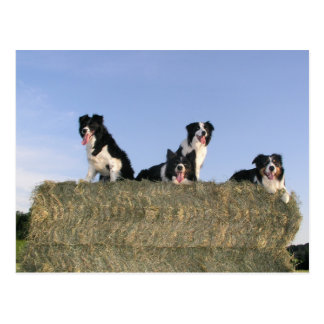 4 Grenze collies.png Postkarte