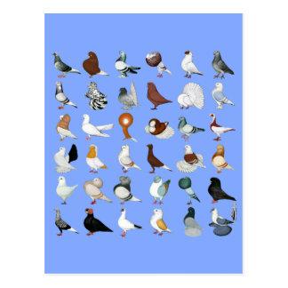 6 Tauben-Zucht Postkarte