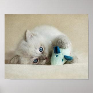 6 Woche altes Ragdoll Kätzchen Poster