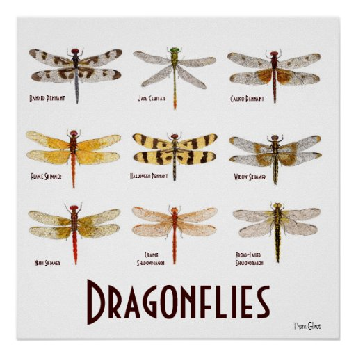 9 Libellen-Spezies-Plakat