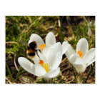 A bumblebee flying to a crocus flower postkarte