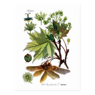 Acer platanoides (Norwegen-Ahorn) Postkarten