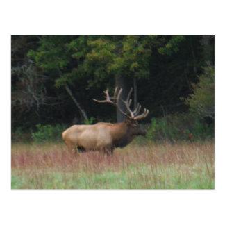 Acht 8 Punkt-Stier-Elche im Herbst Postkarte