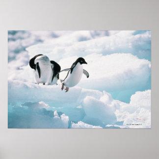 Adelie-Pinguine | die Antarktis Poster