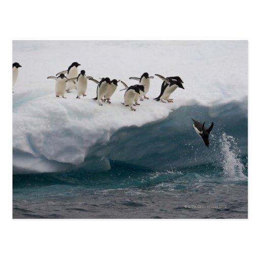 Adelie-Pinguine, die in Meer Paulette tauchen Postkarte