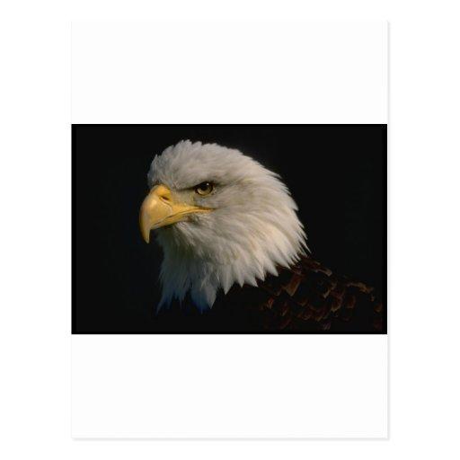 Adler-amerikanisches kahles - Patriotismus Postkarten