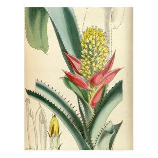 Aechmea mertensii (= mucroniflora) postkarte