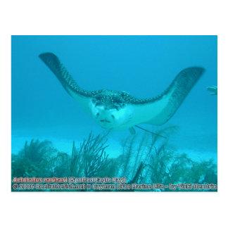 Aetobatus narinari (gepunkteter Adler-Strahl) Postkarte