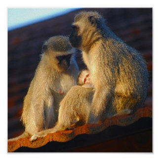 Affenfamilien-Moment-Foto Poster