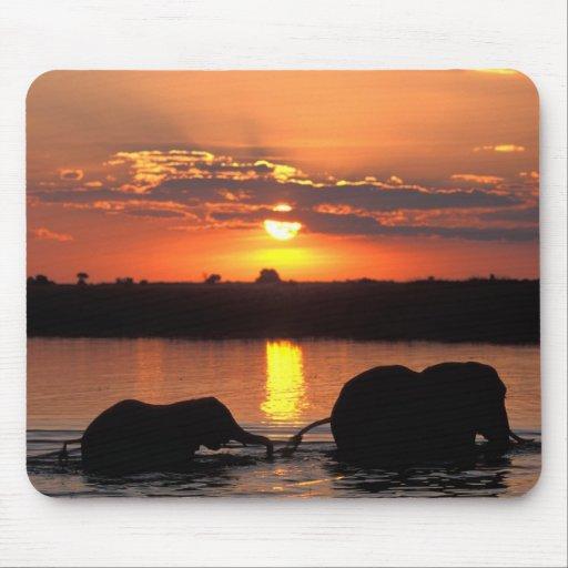 Afrika, Botswana, Chobe Nationalpark, Herde von Mauspad