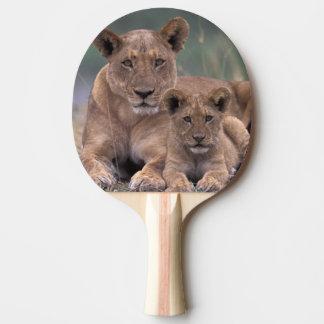 Afrika, Botswana, Okavango Dreieck. Löwen Tischtennis Schläger