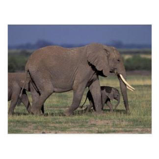 Afrika, Kenia, Amboseli Nationalpark. Afrikaner 4 Postkarte