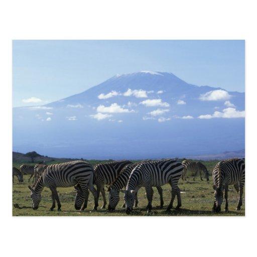 Afrika, Kenia, Amboseli Nationalpark, Herde von Postkarten