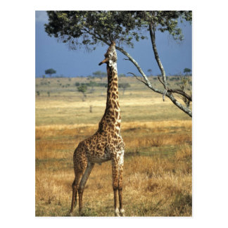 Afrika Kenia Amboseli NP Ein Common oder Masais Postkarten