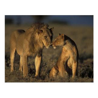 Afrika, Kenia, Büffel entspringt nationale Postkarte