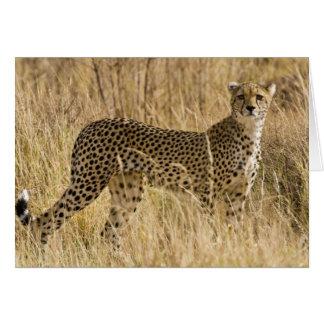 Afrika. Kenia. Gepard bei Samburu NP. 2 Karte