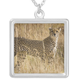 Afrika. Kenia. Gepard bei Samburu NP. 2 Versilberte Kette