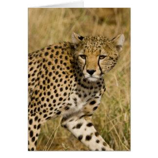 Afrika. Kenia. Gepard bei Samburu NP. 3 Karte