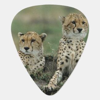 Afrika, Kenia, Geparde Plektron