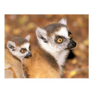 Afrika, Madagaskar, Berenty private Reserve Postkarte