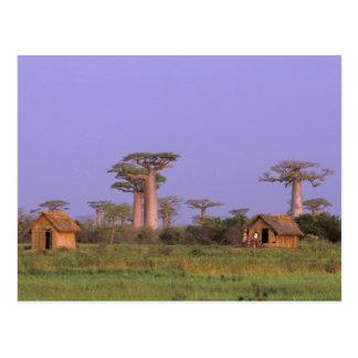 Afrika, Madagaskar, Morondava. Baobabs Postkarte