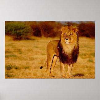 Afrika, Namibia, Okonjima. Einziger männlicher Löw Poster