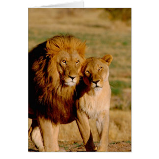 Afrika, Namibia, Okonjima. Löwe u. Löwin Grußkarte