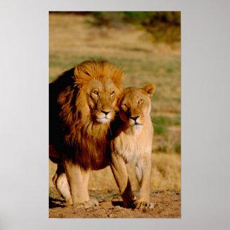 Afrika, Namibia, Okonjima. Löwe u. Löwin Poster