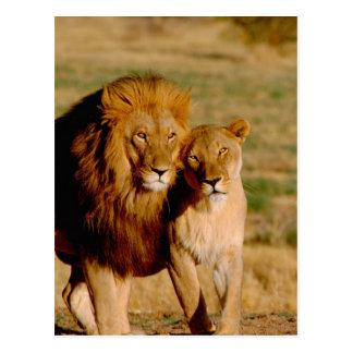 Afrika, Namibia, Okonjima. Löwe u. Löwin Postkarte