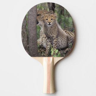 Afrika, Südafrika, Phinda Konserve. Gepard Tischtennis Schläger