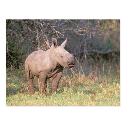 Afrika, Südafrika, Phinda Konserve. Weiß Postkarten