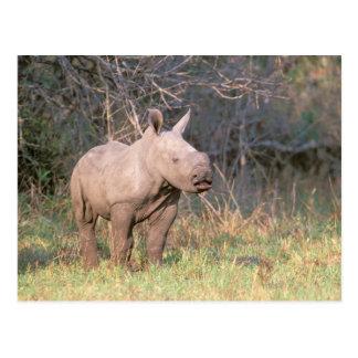 Afrika Südafrika Phinda Konserve Weiß Postkarten