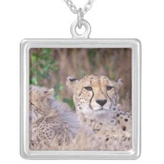 Afrika, Südafrika, Tswalu Reserve. Geparde Versilberte Kette